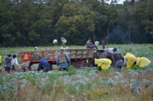 Cabbage pickers near Hastings quickly work to bring in the crop before the expected hard freeze on Monday.