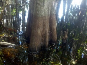 Cypress tree water line