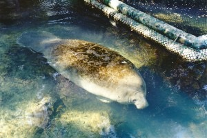 Manatee swimming at Homosassa Springs Wildlife Park