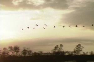 Sandhill cranes flying over Watson Prairie near Cross Creek, FL.