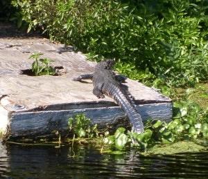 alligator-photo-by-Donna-Green-Townsend