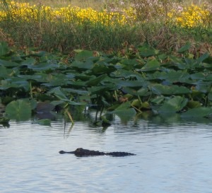 Small alligator in Lochloosa Lake